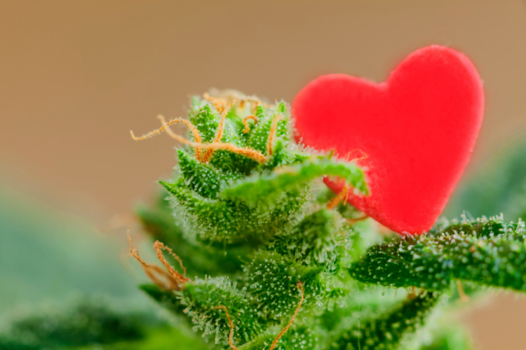 Cannabis with heart